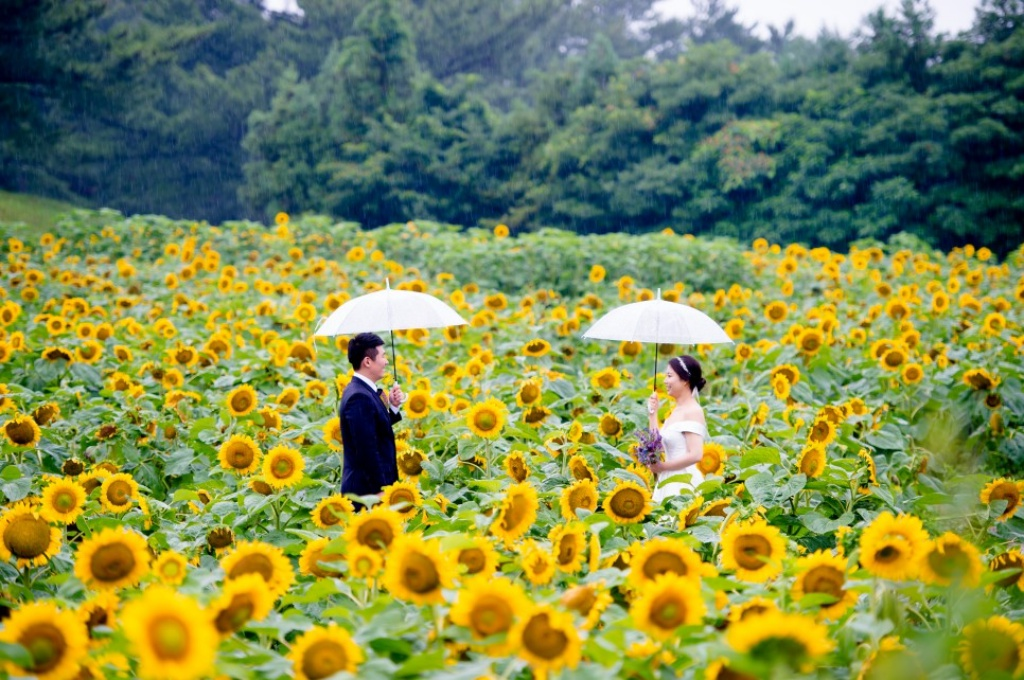 Korea Outdoor Pre-Wedding Photoshoot At Sunflower Field During Summer  by Ray  on OneThreeOneFour 2